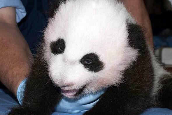 El pequeño panda es hijo de Mei Xiang, la panda de 15 años...