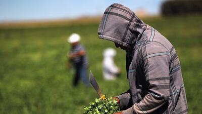Prohíben cilantro mexicano al encontrar excremento humano en campos de c...