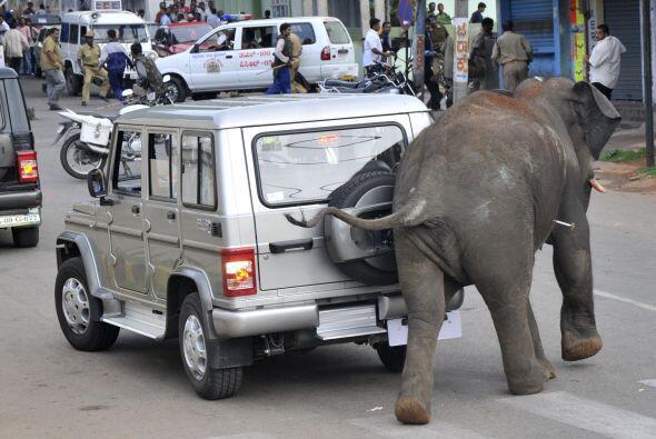 Un elefante enloquecido embistió y mató el miércoles a una persona, pasó...