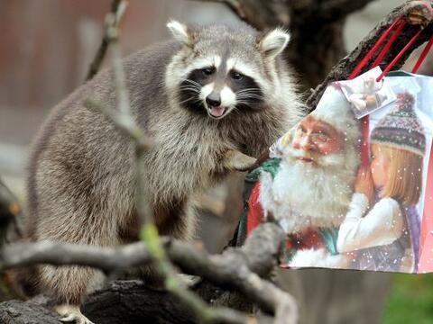 Una mapache llamada Bella abre su regalo de Navidad en el zoológi...
