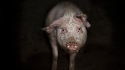El cerdo Laurentiu