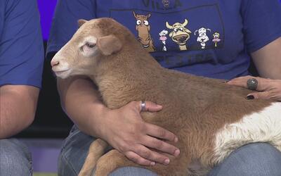 Llega el ovejo Rocco a Los 6 de la Tarde