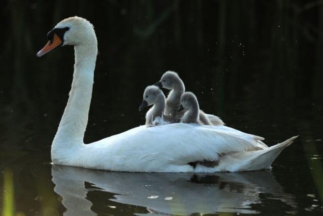 Aunque ellos deberían nadar, ¡prefieren ir sobre mamá!