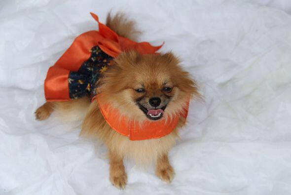 Viste a tu mascota de manera divertida y cómoda para que luzca súper 'ch...