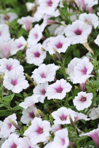 4) Petunias. Estas flores grandes de hojas redondas son unas de las favo...