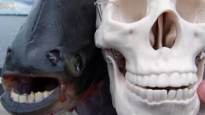 Su dentadura es muy parecida a la humana y es familia de la piraña. (Fot...