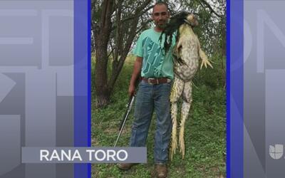 Tendencias en la red: un hombre caza una rana toro en Texas