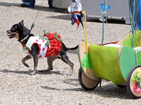 Decenas de perritos se disfrazaron y personificaron en tradicionales ves...