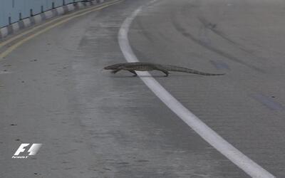 Un lagarto invadió  las pista de Singapur