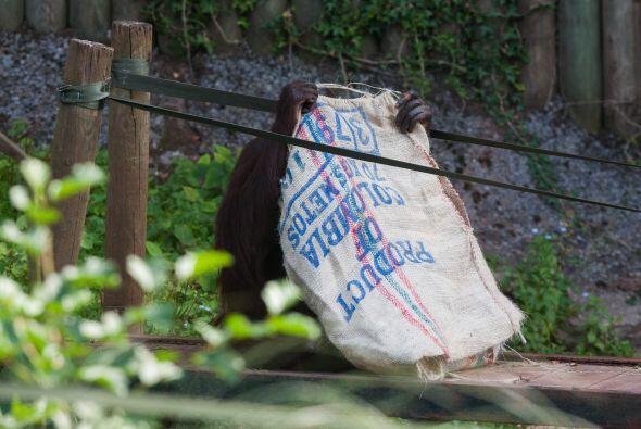 Los cuidadores del zoológico pusieron sacos de café con ag...