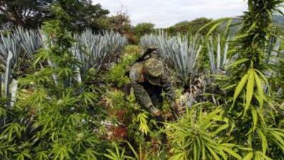 Un cultivo de marihuana en México.