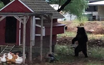 El propietario de la vivienda visitada por el oso captó la imagen...