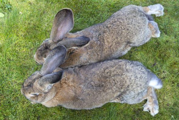 Estos dos tendrán que alargar sus orejas tanto como puedan.