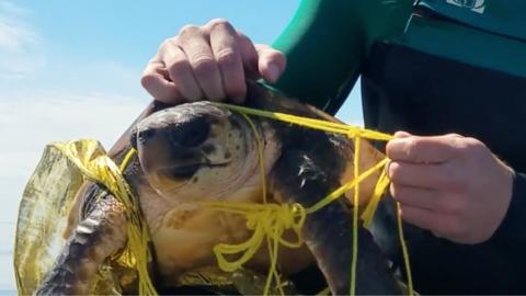 Los restos de un globo enredaron a una tortuga en peligro de extinci&oac...