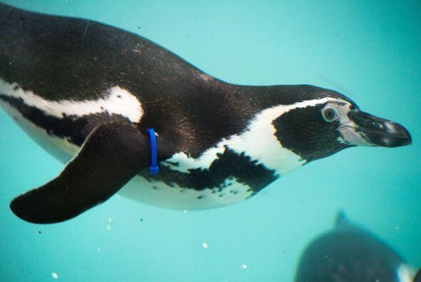 Conoce a Slippy un simpático pingüino hembra  que está en la búsqueda in...