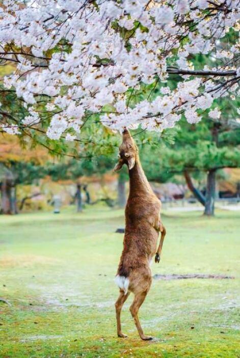 El ciervo quedó encantado por tan bello aroma.