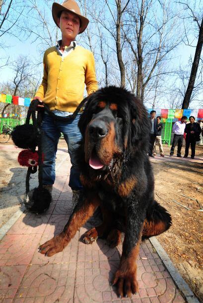 Es un perro de imponentes proporciones y muy leal, tiene un carácter ind...
