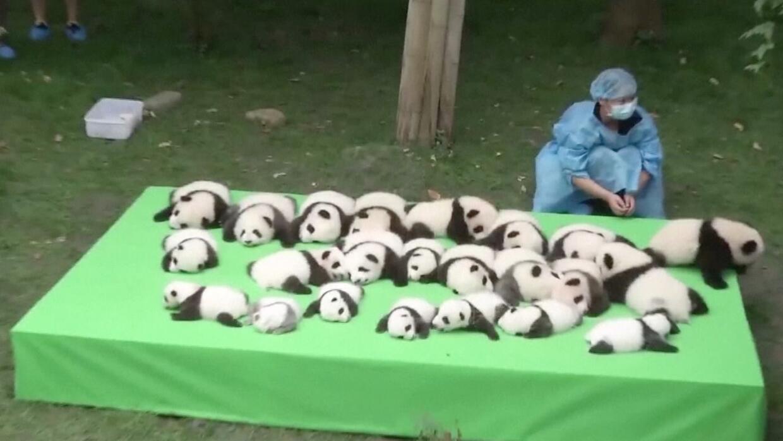 23 cachorros pandas fueron presentados al público en China.