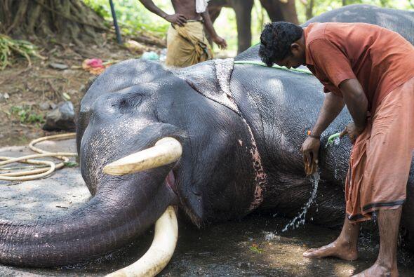 El trabajo de un Mahout no es nada fácil, un elefante es una gran respon...