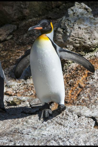 Los adultos de esta especie portan un plumaje negro con blanco.
