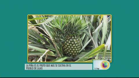 Agricultores de Lajas apuestan a la piña