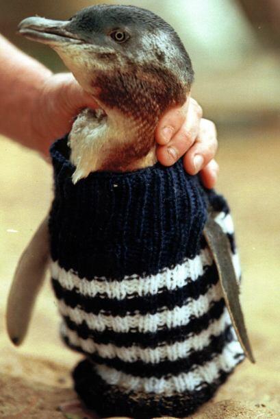 Como todas las aves, los pingüinos usan su pico para acicalarse, así que...