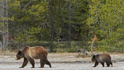 Madre grizzly y su cría en Yellowstone (Foto: NPS Jim Peaco)