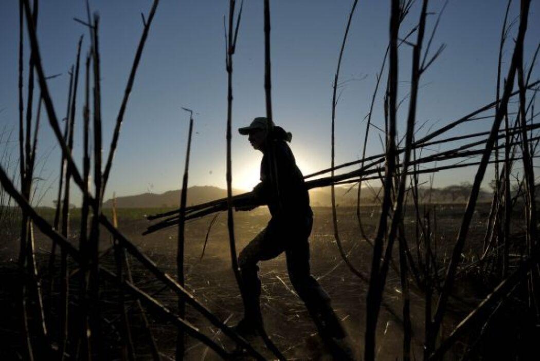 El periodo de desarrollo de la caña de azúcar es de aproximadamente 12 m...