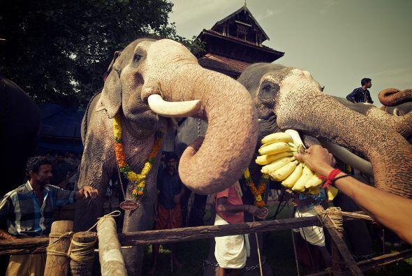 El festival de Aanayoottu es el más grande de su tipo en el mundo...
