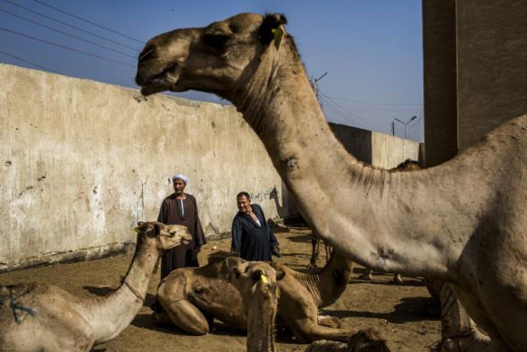 En enero de 2012 se vendieron 5.000 camellos por un valor total de 530 m...