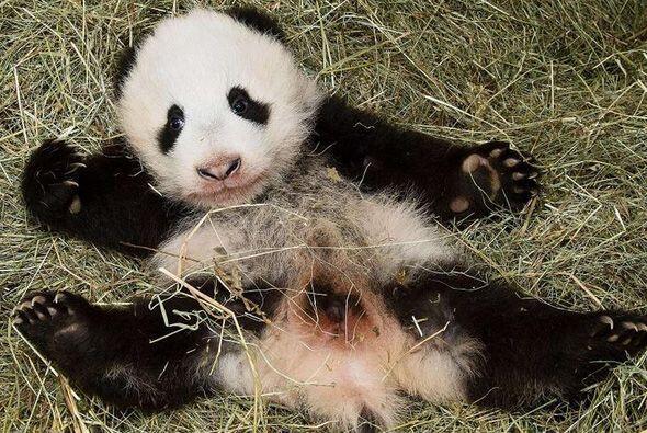 Manteniendo una tradición china, a los panda bebés no se l...