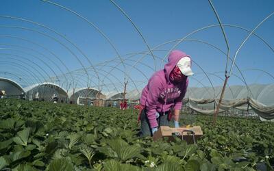 fresas inmigrantes campo