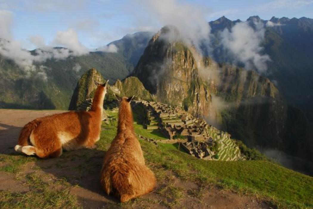 Viajará hasta el Perú ha donde habitan las Llamas, seres maravillosos de...