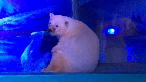 """Más de 350,000 personas piden liberar al """"oso polar más triste del mundo"""""""