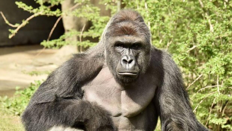 Recuerda a 'Harambe' del Zoológico de Brownsville, Texas.