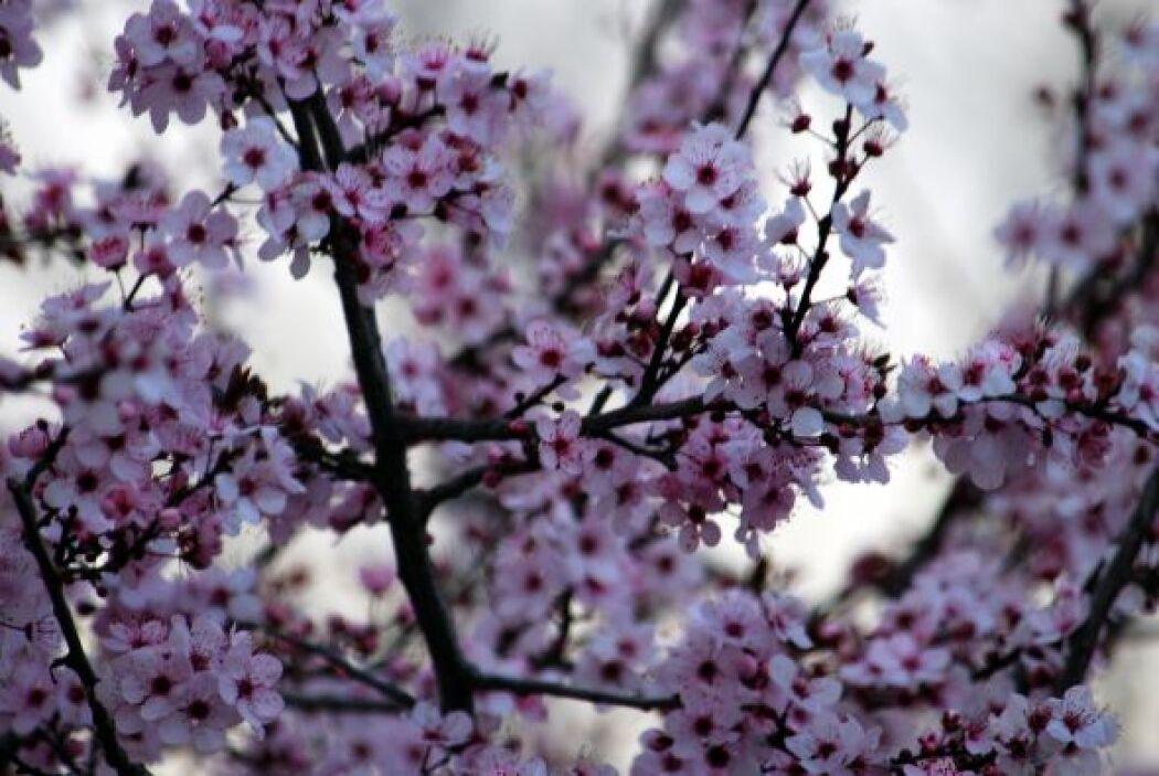 Los cerezos en flor adornan a chile durante la primavera, justo a tiempo...