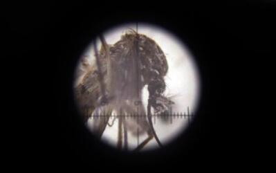 Un mosquito Aedes aegypti, transmisor del virus del zika, visto a través...