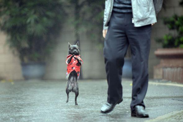 A él no le molesta en absoluto y camina para todos lados as&iacut...