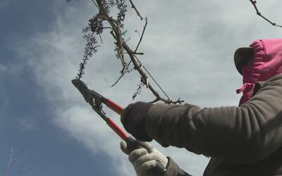 Pérdidas millonarias en campos agrícolas del valle de San Joaquín por in...