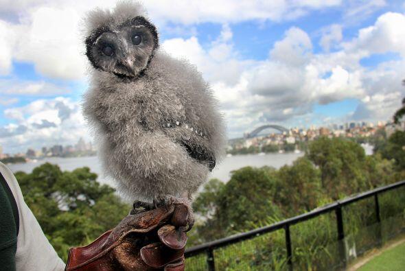 El adorable búho Griffin fue presentado en el zoológico To...