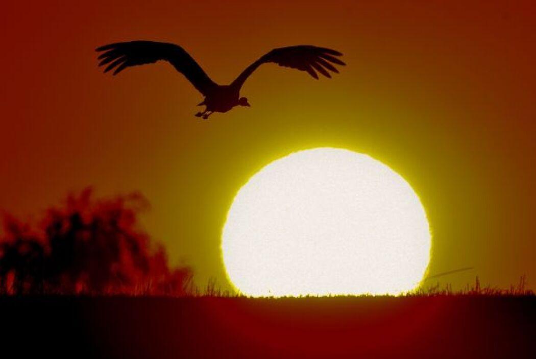 Un ave vuela al atardecer cerca de  Heinersdorf, Alemania.