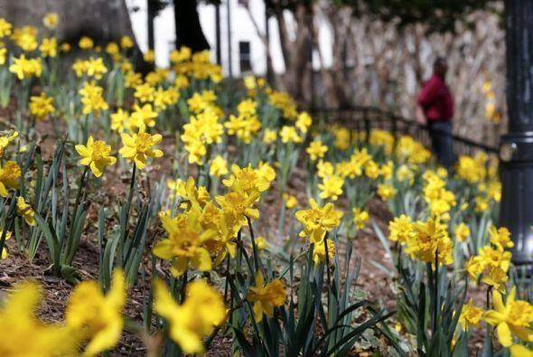 Más de 20,000 narcisos recientemente plantados en el parque Woodruff se...