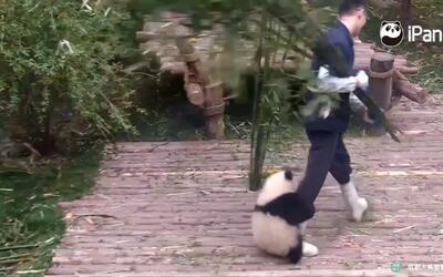 No se pierdan a este tierno panda que no deja tranquilo a su cuidador