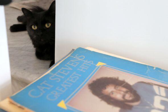 Los gatos necesitan mucha compañía, en especial que los acaricien y les...