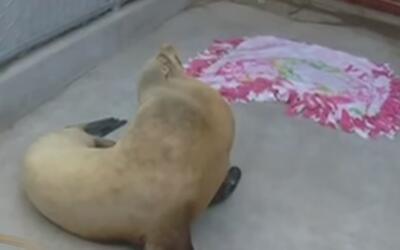 Monitorean la salud de al menos 14 leones marinos enfermos por floración...