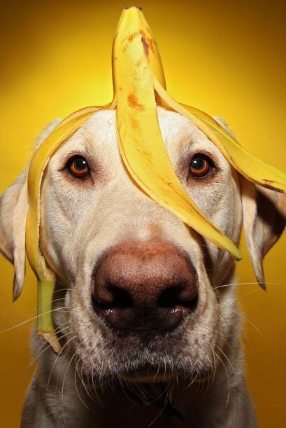 Con una banana encima, este perro casi se convierte en simio.