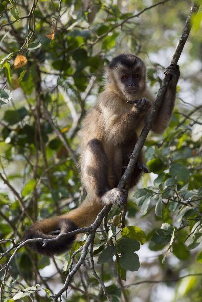 El humano comparte un 96% de su ADN con el chimpancé; los bebés de estos...
