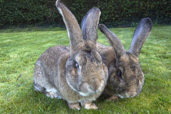 Esta familia de conejos se disputa el Récord Guinness del conejo...