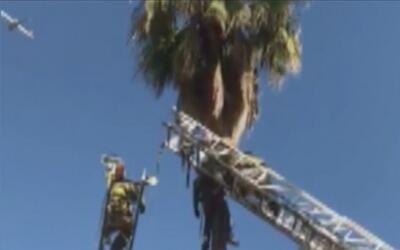 Podador de árboles quedó atrapado en la cima de una palmera en el sur de...