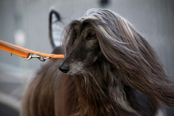 ¿Y este lebrel afgano qué tipo de shampoo usa para tener el pelaje tan s...